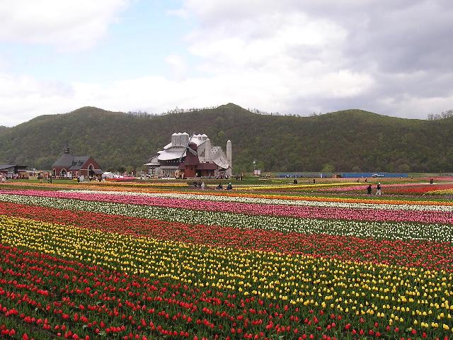 チューリップ畑.jpg