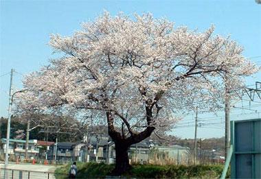 駅の桜04.jpg