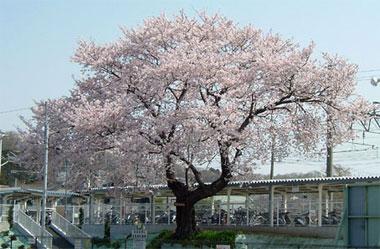 駅の桜05.jpg