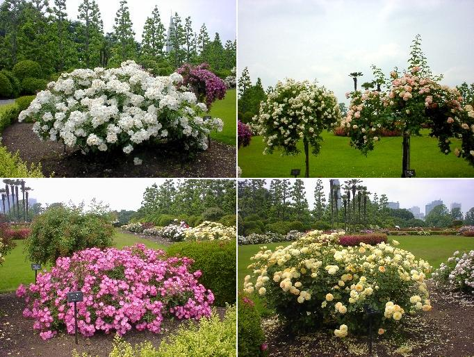 rosegarden2.JPG
