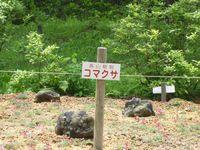高山植物コマクサ