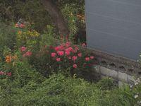 住宅街の庭の花。