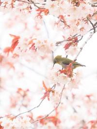 桜ジローその2