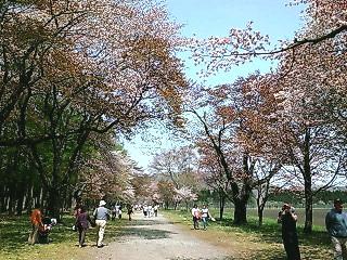 静内桜まつりに行ってきた