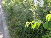 雑草魂とも言われる雑草に占領された歩道の風景