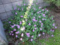 住宅街の花