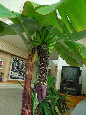 森林セラピーでバナナを知る