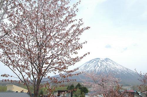 羊蹄山と桜