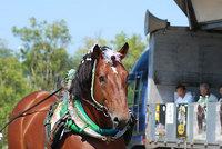 共和かかし祭 輓馬競技大会(12)
