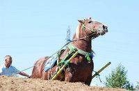 共和かかし祭 輓馬競技大会(15)