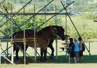 共和かかし祭 輓馬競技大会(11)
