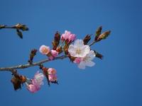 百年桜 (樽前桜)