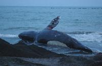 苫小牧にクジラが漂着