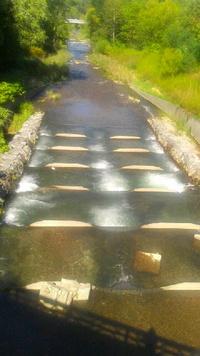 ふるさと目指して真駒内川へ鮭の遡上マラソン