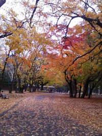 円山紅葉と北大銀杏並木