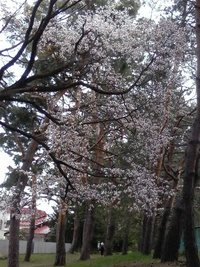 花見と家桜、満開です。