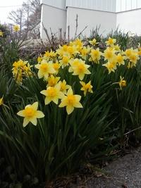 我が家の庭にも春、水仙が満開