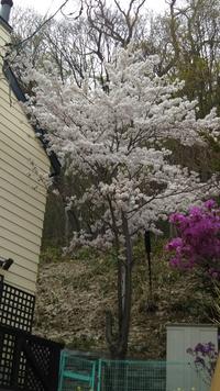 家の桜も満開に咲きました、、、見事です