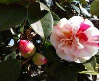 椿咲いてます