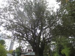 蚊母樹(いすのき)