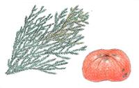 高野槙と富有柿