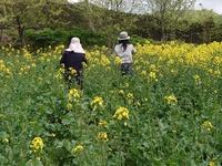 菜の花摘み体験