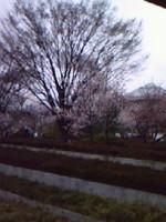 3月24日皇居の周りを走る、、、桜