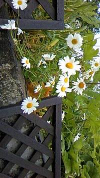 家の庭の除虫菊、ドイツあやめの花々