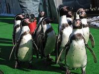 ペンギン・ウォーキング♪
