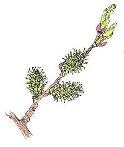 エゾノバッコヤナギ