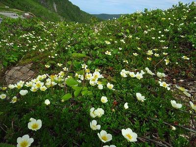 オロフレ山の花達
