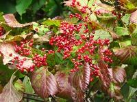 ガマヅミ紅葉