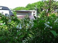 我が家 垣根の卯の花
