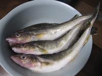 魚 カンカイ