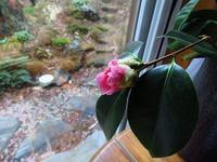 椿の蕾と南瓜の新芽