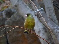 鳥 カワラヒワ