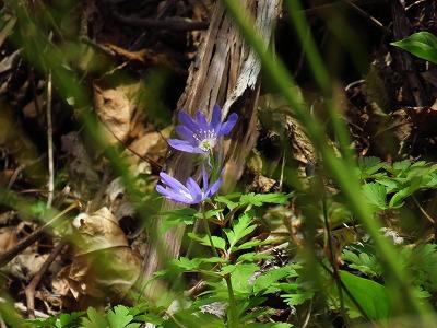 青のキクザキイチゲ