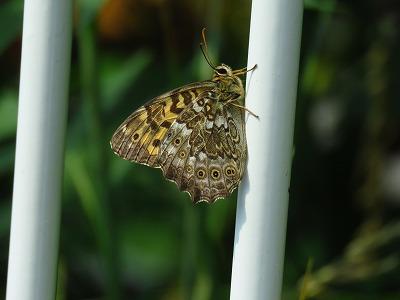 蝶の季節 サトキマダラヒカゲ