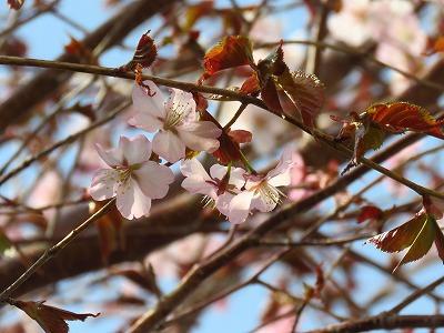 早朝散歩より 桜