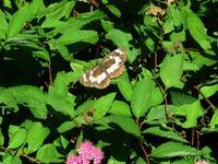 蝶 フタスジチョウ