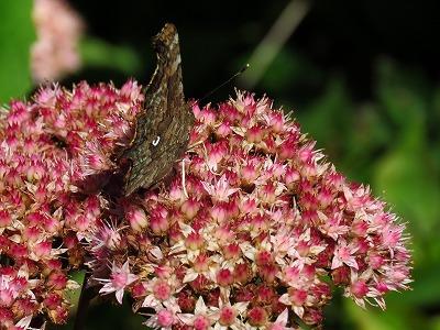 シータテハ蝶