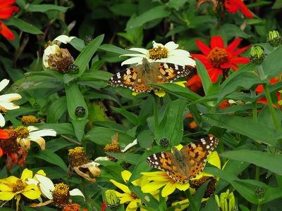 タテハ科の蝶 2種