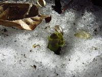 雪解けの中の福寿草