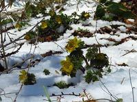 雪の下の福寿草
