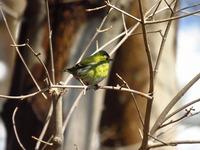 鳥 マヒワ
