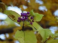 ムラサキシキブ紅葉
