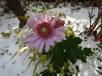今日の庭の菊達