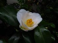 百合が原公園の花 椿Ⅲ