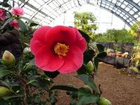 百合が原公園の花 椿Ⅱ