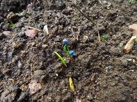 来春のホウレン草の芽が出た!